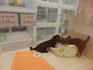 敦賀店の仔犬、仔猫たち