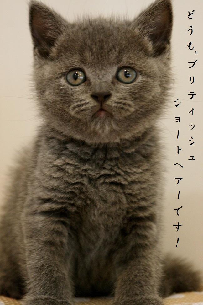 ブリティッシュショートヘアー(ブルー)♂H27,8月22生¥188,000