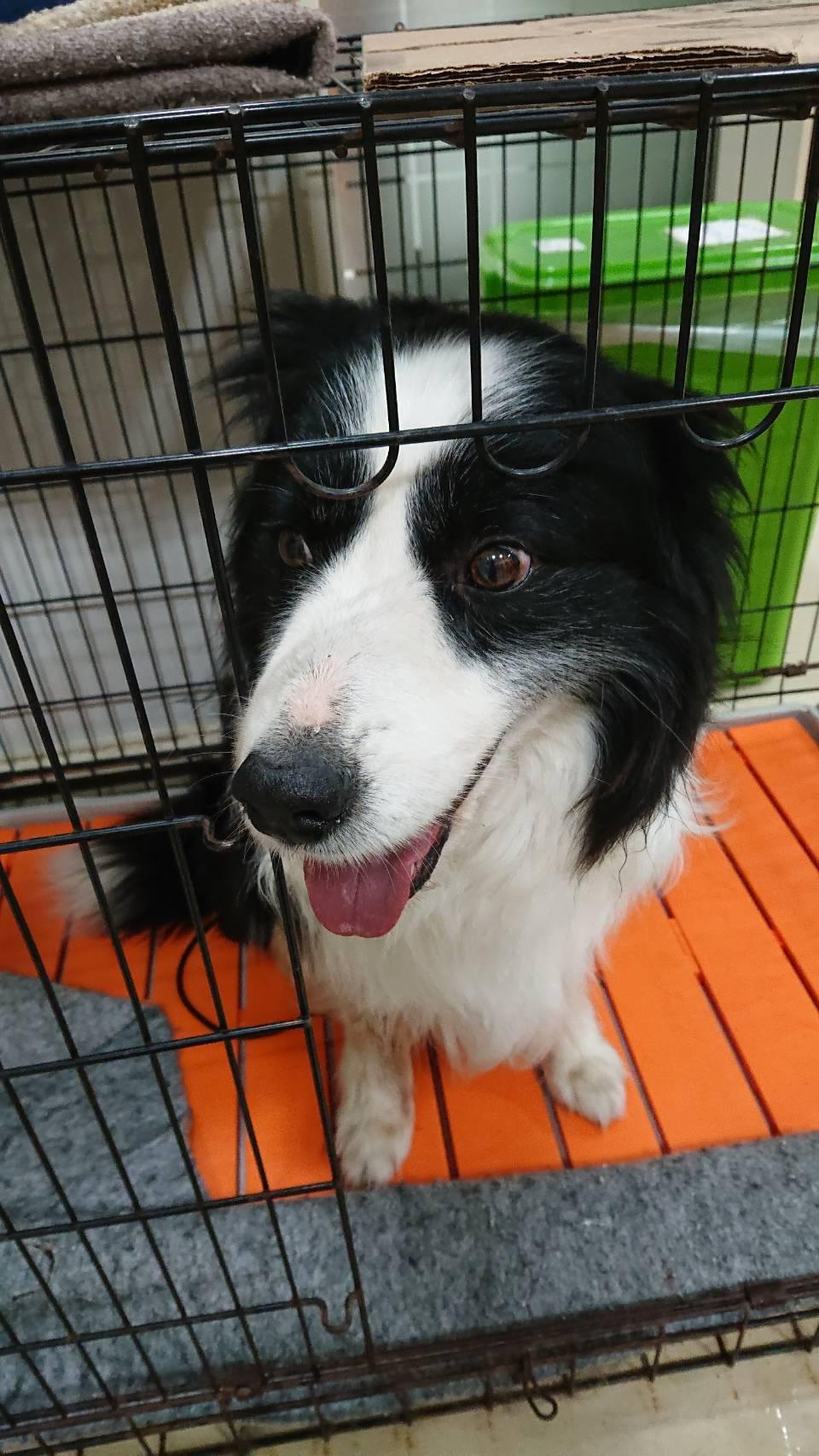 迷子犬保護しました。ボーダーコリーです。