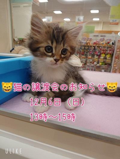 猫の譲渡会のお知らせです(◍ ´꒳` ◍)b