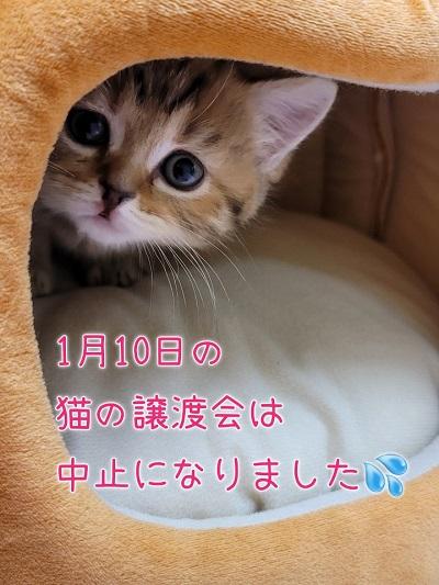 明日2月10日の猫の譲渡会について!