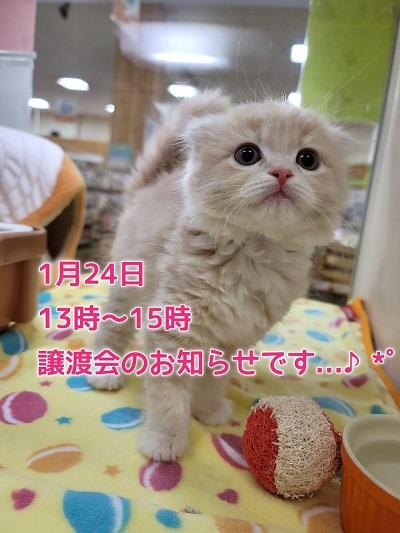 ?猫の譲渡会のお知らせです?