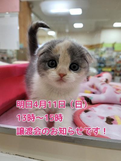 猫と避妊と去勢の会による譲渡会のお知らせです♪